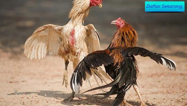 Ciri Agen Adu Ayam Bangkok Taruhan Nyata Uang Asli